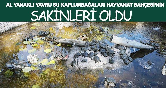 3 bin 400 su kaplumbağası yeni yuvasına kavuştu