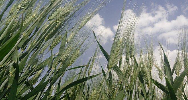 Bahar yağmurları tarım arazilerine can suyu oldu