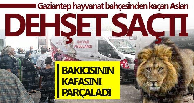 Gaziantep hayvanat bahçesinden kaçan aslan dehşet saçtı