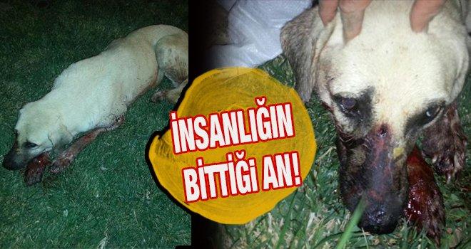 Gaziantep'te başlarından vurulan 2 köpek öldü