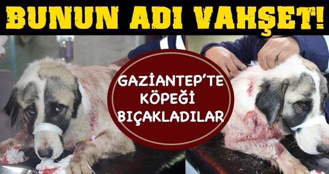 Gaziantep'te bıçaklanan köpek ameliyata alındı