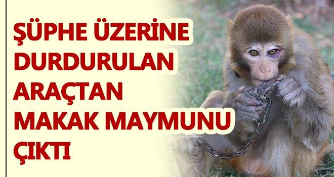 Gaziantep'te durdurulan araçtan Makak maymunu çıktı