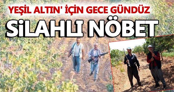 Gaziantep'te silahlı nöbet ! Yeşil altın'da hasat dönemi yaklaşıyor
