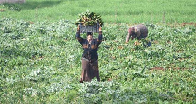 Sınır hattında hasat zamanı