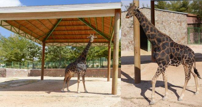 'Zürafa Şakir' muradına erdi...